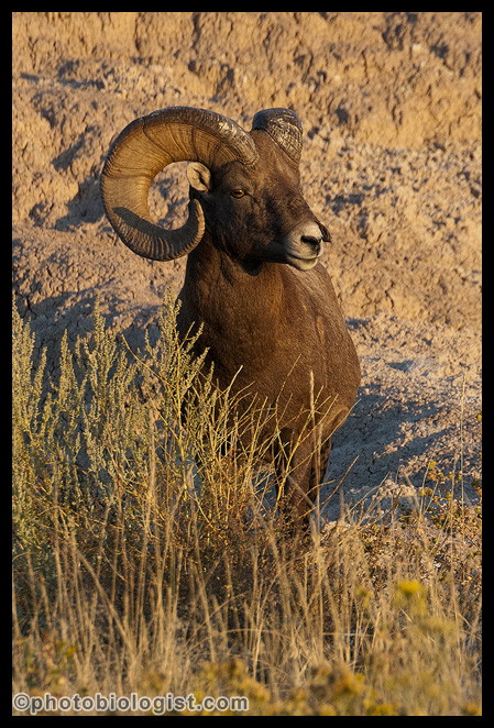 Bighorn ram in the morning sun.