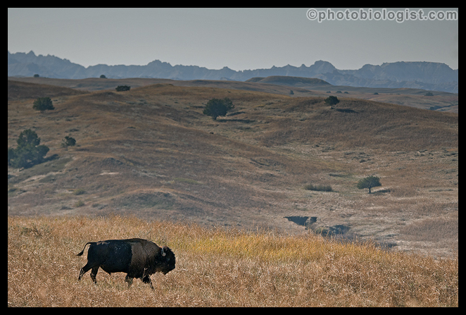 Bison headed for the Badlands.