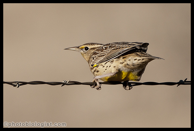 Western Meadowlark ready to leave a rangeland fence.