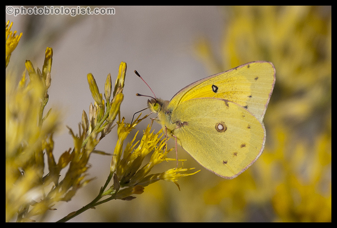 Clouded sulphur feeding on a fall aster.