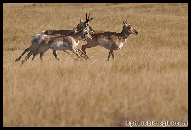 Pronghorn headed for the far side of a hill.