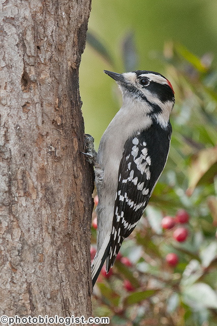 Male downy woodpecker on a snag.