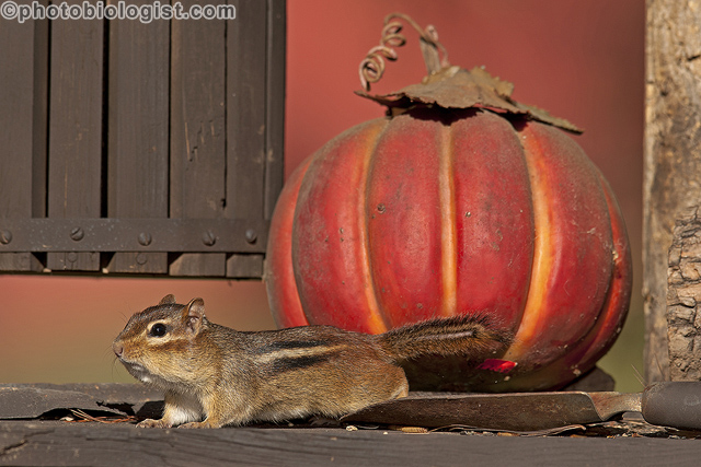 "A ""fall"" chipmunk shot."