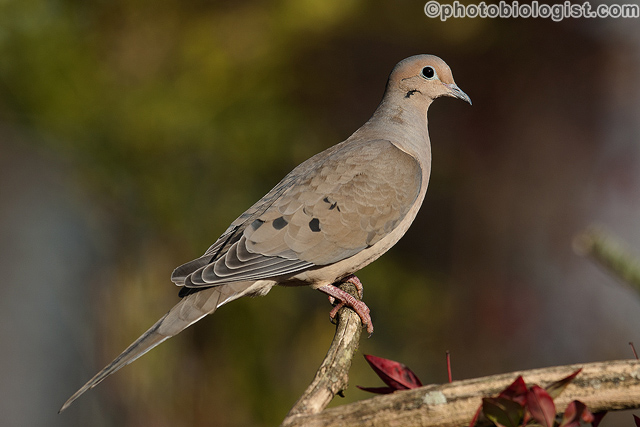 Mourning dove on a snag.