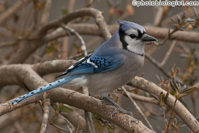Blue jay in an azalea bush.