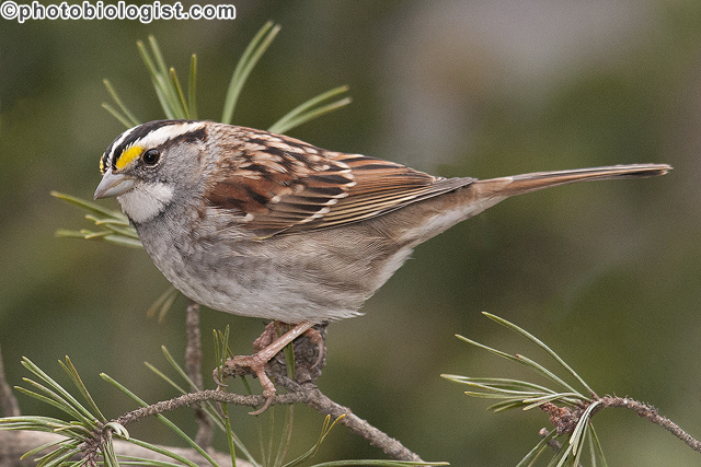 White-throated sparrow in a Virginia pine.