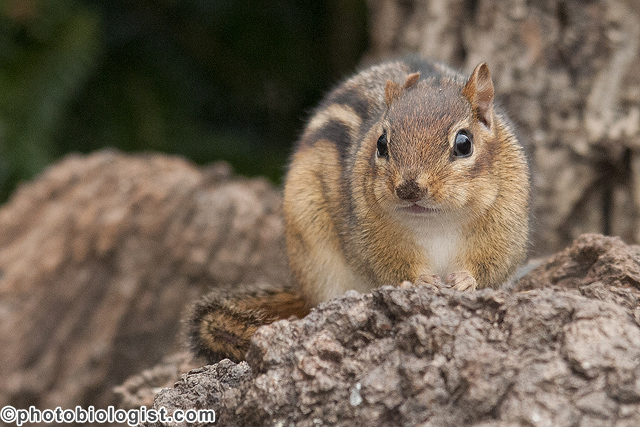 Chipmunk posing on a log.