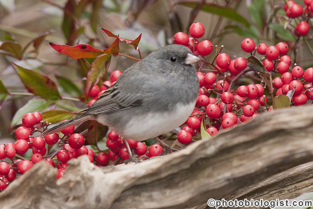 Dark-eyed junco on a perch.