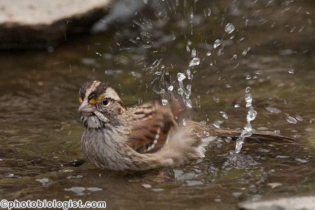 White-throated sparrow bathing.