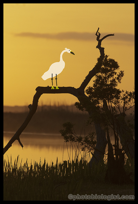"Now the snowy egret is on the perch where it had been moments before!  I guess I CAN ""fix it in Photoshop!"""