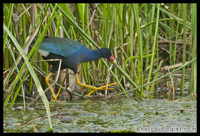 The sun was sinking, and the light wasn't great, but the opportunity to photograph a purple gallinule on the Mississippi Coast doesn't occur every day...